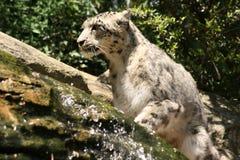 neige de léopard Image libre de droits
