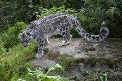 neige de léopard Photo stock