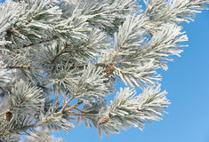neige de pin dessous Photographie stock libre de droits