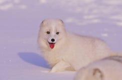 neige de renard arctique images libres de droits