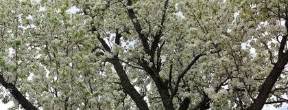 Neige de ressort fleurissant le panorama de Crabapple Photographie stock libre de droits