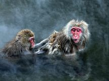 neige de singe Photographie stock libre de droits