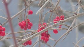 Neige de viburnum d'arbuste d'hiver de nature clips vidéos