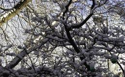 Neige de Vierge sur les arbres Images stock