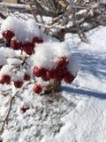 Neige et baies rouges sur l'arbre 3 Photos libres de droits