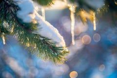 neige et glaçons sur la brindille de pin Photo stock