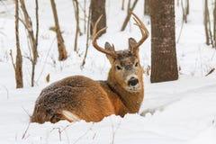 Neige fraîche d'hiver de Buck Bedded Down In The de cerfs de Virginie Image libre de droits