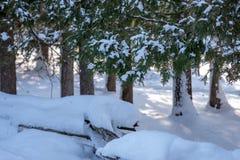 neige fraîche dans la forêt de pin photos stock
