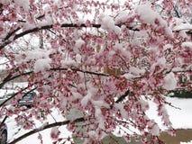 Neige humide lourde et fleurs congelées en mars Images libres de droits