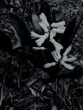 Neige noire et blanche d'été de fleur image stock