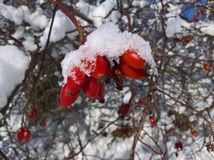 Neige rouge de fruits de berbéris couverte images stock