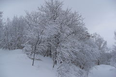 Neige s'accrochant aux arbres Photos stock