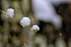 Neige sur des bourgeons Photo libre de droits