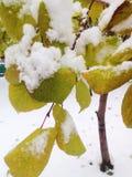 Neige sur des feuilles Photos libres de droits