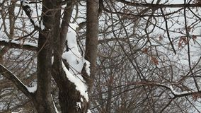 Neige sur des pins clips vidéos
