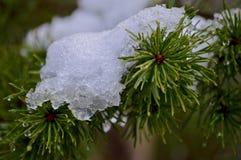 Neige sur des pointeaux de pin photos stock