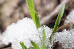 Neige sur l'herbe verte au printemps Plan rapproché images libres de droits