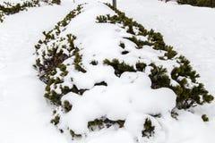 Neige sur le petit pin Photographie stock