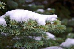 Neige sur le sapin bleu Image libre de droits