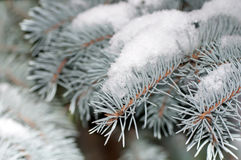 Neige sur le sapin de bleu de branche Photographie stock