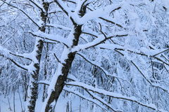 Neige sur les branches Photos stock