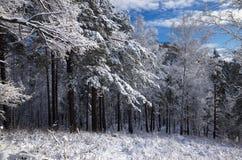 Neige sur les branches de grands arbres photographie stock libre de droits