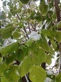 Neige sur les feuilles vertes Images libres de droits