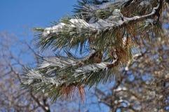 Neige sur un branchement de pin Photos libres de droits