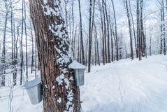 Neige tombée fraîche en bois urbains d'un hiver d'érable Seaux recueillant la sève d'arbre pour le sirop Photos libres de droits