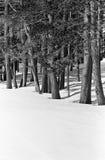 Neigez entre les arbres un jour lumineux de l'hiver Photo libre de droits