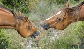Neigh. Two chestnut horses neighing at each other Stock Image