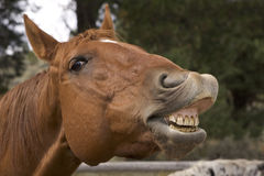 Neigh!. A horse showing his teeth Royalty Free Stock Image