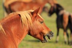 Neigh del cavallo fotografia stock libera da diritti