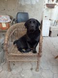 The handsome dog. This is a neighbor`s grandfather`s dog.I often see it sitting on a chair and accompanied by the grandfather next to him.The big eyes are always Royalty Free Stock Image