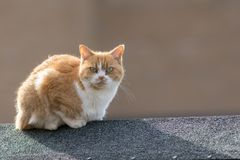 Neighborhood moggy. Domestic street cat on garden shed roof. Neighborhood moggy. Domestic ginger street cat on garden shed roof Royalty Free Stock Photo
