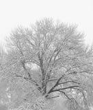 Neighborhood Oak in Winter. Oak tree in Louisville royalty free stock photo