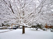 Neighborhood Snow Tree. Photo of snow laden tree in a city neighborhood in february Royalty Free Stock Photography