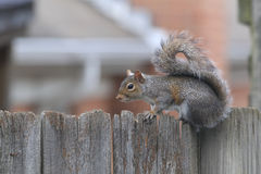 Neighborhood Squirrel Privacy Fence Stock Image