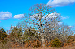 Neighboring Oak Tree Royalty Free Stock Images