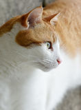Neighbours Cat. Ginger and white cat staring intently. Concept image for concentration, determination and focus stock photography