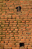 Neighbours. Two Doves in Brick Background Royalty Free Stock Photos