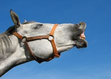 Neighing horse. Head of the neighing horse relating to the blue sky Royalty Free Stock Photography