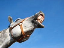 Neighing horse Stock Images