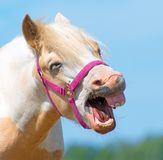 Neighing horse. Royalty Free Stock Photo