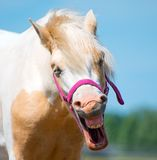 Neighing horse. Stock Images