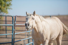Neighing Palomino horse Royalty Free Stock Images