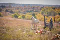 Neighing White Horse Royalty Free Stock Images