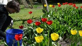 Neigung oben der Gärtnerfrauenarbeit zwischen Tulpenblumenbeeten stock video