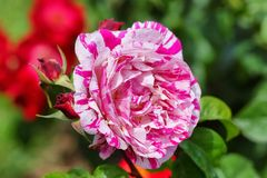 Neil Diamond Hybrid Tea Rose Royalty Free Stock Image