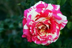 Neil Diamond rose, hybrid tea rose. The neil diamond rose is a hybrid tea rose with beautiful white and pink mixed colors. The photo was taken at the rose garden royalty free stock photo